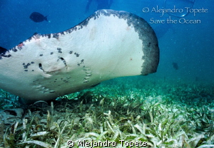 Stingray in the Botom, San Pedro Belice by Alejandro Topete 